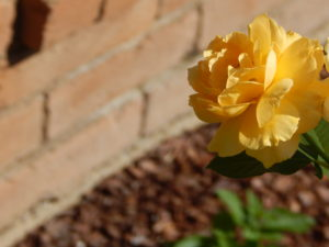 My new yellow rose bush
